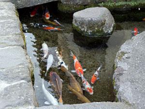 鯉が泳ぐ町
